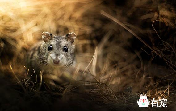 仓鼠不会藏食物,是因为无忧无虑?